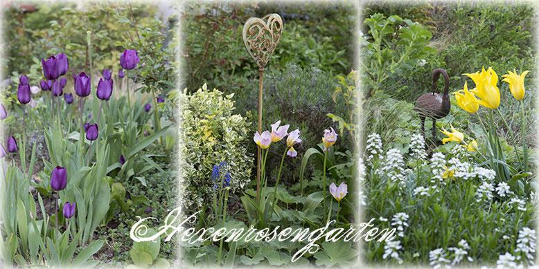 Rosen Blüte Hexenrosengarten Garten Rosenblog Frühling Tulpen