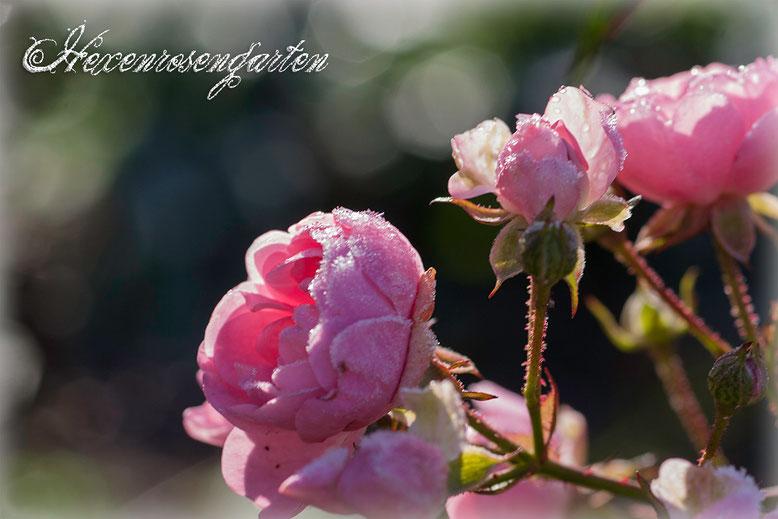 Rosen Rosenblog Hexenrosengarten The Fairy Bodendeckerrose Frost