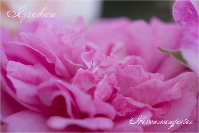 Rosen Rosenblog Hexenrosengarten Ispahan Damaszenerrose einmalblühend gefüllt Duftrose rosa Alte Rosen  Rosiger Adventskalender