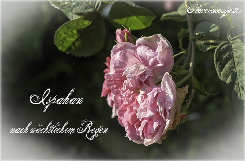 Rosen Hexenrosengarten Rosenblog  Damaszenerrose Ispahan Duftrosen Tropfen