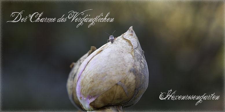 Hexenrosengarten Romantischer Rosengarten Rosenblog Novemberblues Morbide Rosen Kordes Novalis