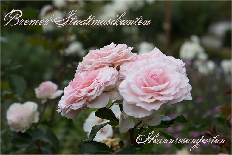 Rosen Rosenblog Hexenrosengarten cremerosa Kordes Strauchrose Bremer Stadtmusikanten Belami Pearl Rosiger Adventskalender