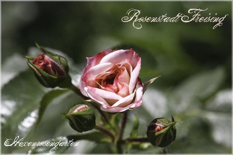 Rosenblog Hexenrosengarten Rosiger Adventskalender Strauchrose Rosenstadt Freising Kordes