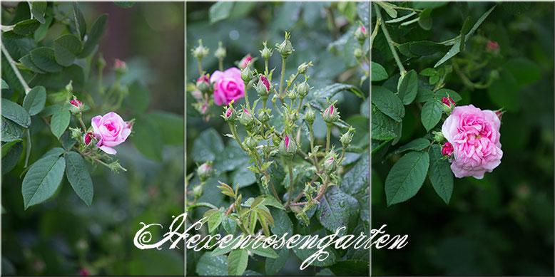 Rosen Blüte Hexenrosengarten Garten Rosenblog Frühling rosa Isphahan Duft