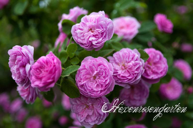Rosa Centifolia Zentifolie Rose Spong