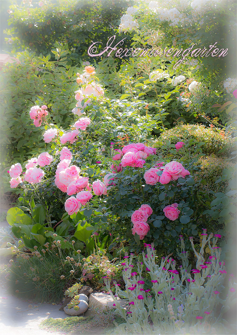 Hexenrosengarten Rosen Blüten Leonardo da Vinci Home and Garden Sangerhäuser Jubiläumsrosen Guirlande d'Amour Lichtnelke