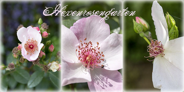 Rosen Hexenrosengarten Sweet Pretty Astronomia Staubgefäße