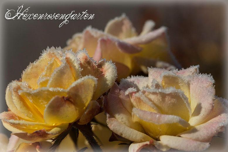Rosen Rosenblog Hexenrosengarten  Kordes Gelber Engel