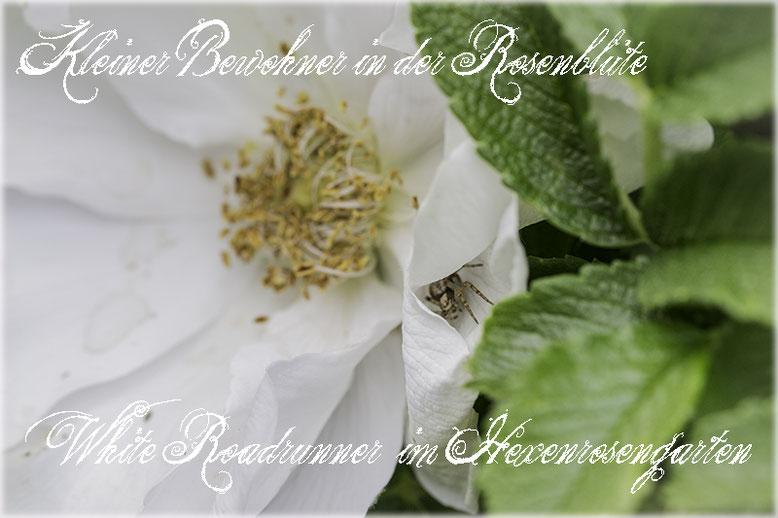 Rosen Hexenrosengarten Rosenblog  Rugosa Rose weiß White Roadrunner