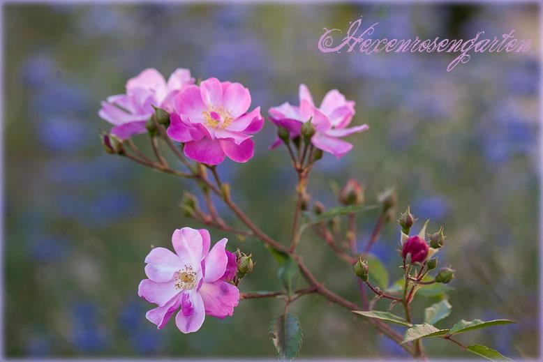 Rosen Rosenblog Hexenrosengarten blau Lavender Dream Kleinstrauchrose Bartblume Caryopteris Blauquirl Lavendel
