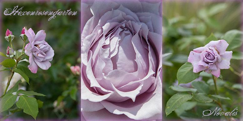 Rosen Rosenblog Hexenrosengarten blau Kordes Novalis Romantik