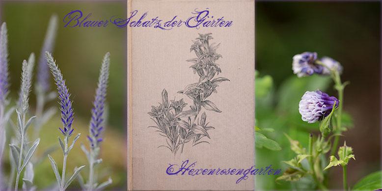 Rosen Rosenblog Hexenrosengarten Blau Karl Foerster Blauer Schatz der Gärten Stauden Veronika Akelei