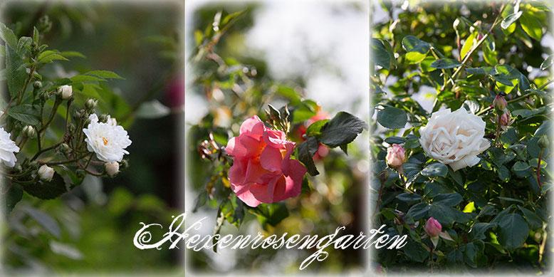 Rosen Blüte Hexenrosengarten Garten Rosenblog Frühling Summerwine New Dawn Guirlande d'Amour Kletterrose Ramblerrose