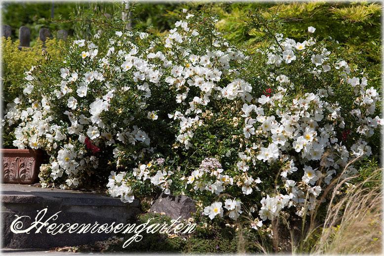 Rosen Rosenblog Hexenrosengarten Kordes Sonnenröschen Staubgefäße Zwergrose Bodendeckerrose Mauerkrone Rosiger Adventskalender