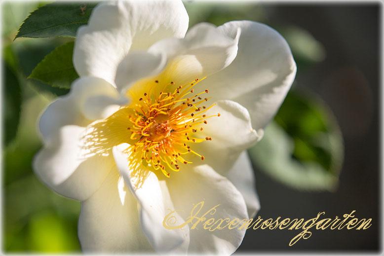 Rosen Hexenrosengarten Golden Wings Staubgefäße
