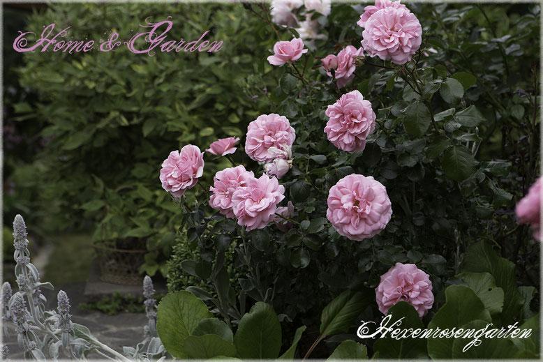 Rosenblog Hexenrosengarten Rosiger Adventskalender Beetrose Kordes Home & Garden