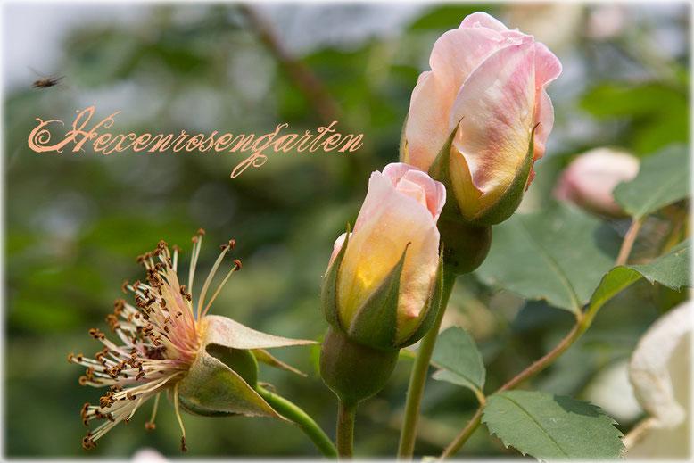 Hexenrosengarten Rosen Frühlingsduft Knospe Staubgefäße