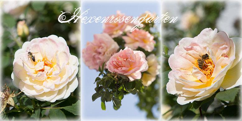 Rosen Blüte Hexenrosengarten Garten Rosenblog Frühling Frühlingsduft gelb rosa