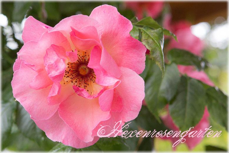 Rosen Hexenrosengarten Summerwine Kletterrose Staubgefäße