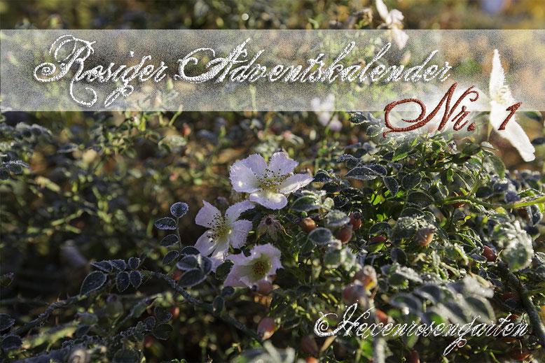Hexenrosengarten Rosiger Adventskalender Romantischer Rosengarten Sonnenröschen Frost