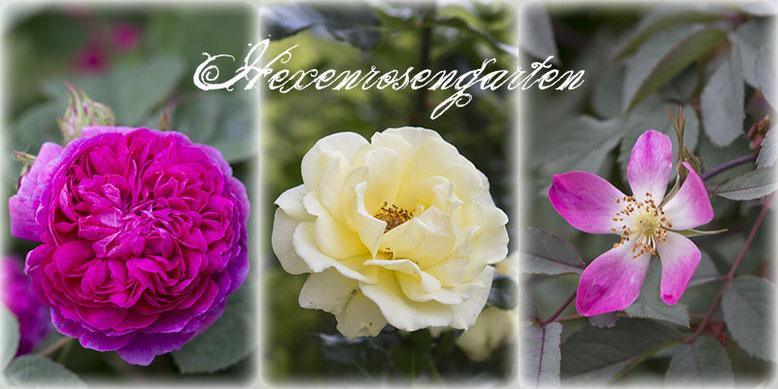 Rosen gefüllt halbgefüllt einfach