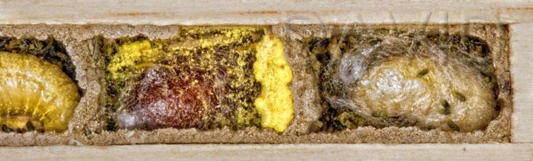 Mauerbiene Kokon Brutzelle Insektennisthilfe Insektenhotel solitäre Wildbiene