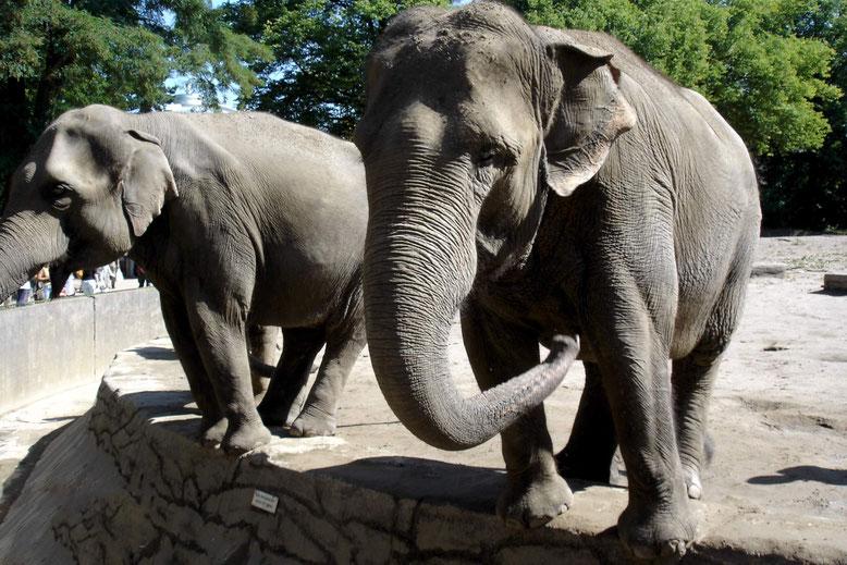 Zwei Elefanten im Zoo. Elefanten kennt heute jedes Kind. Im Mittelalter war das nicht so. Abul Abaz,  der Elefant Karls des Großen, erregte großes Aufsehen.