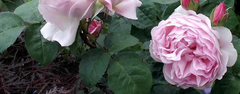 Rosen. Kultivierte Rosen werden bereits 648 v.Chr. erwähnt.