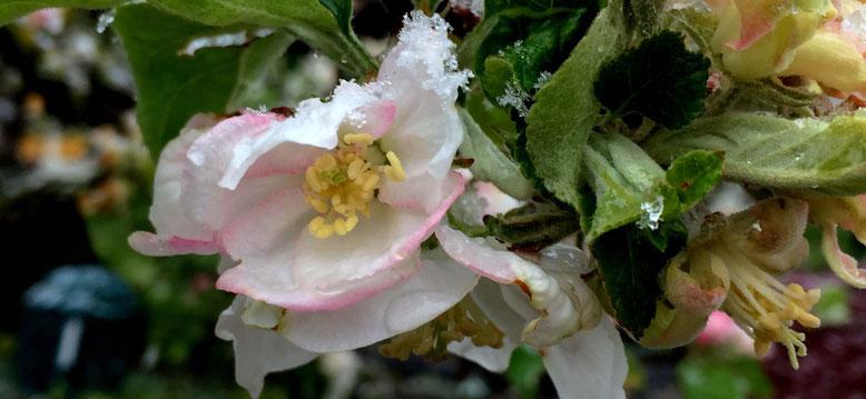 Apfelblüte mit Schnee