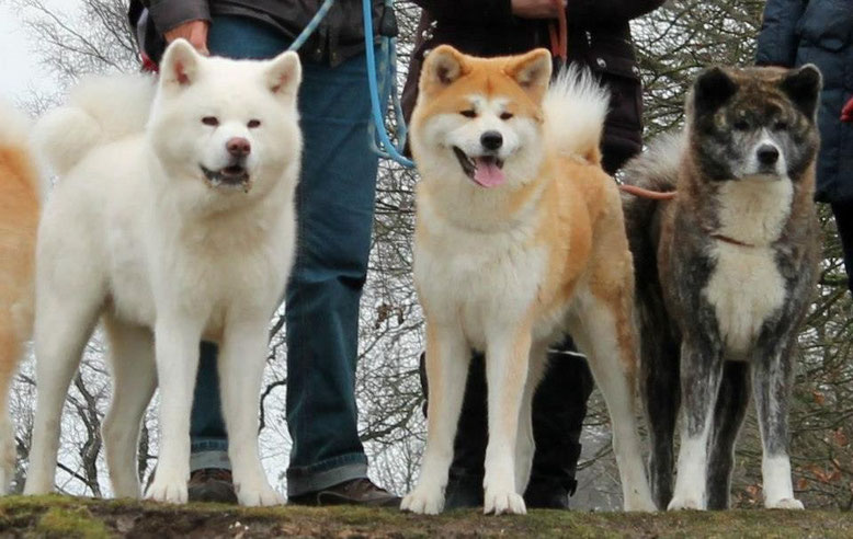 Akita Inu blanc, Roux-blanc et bringé