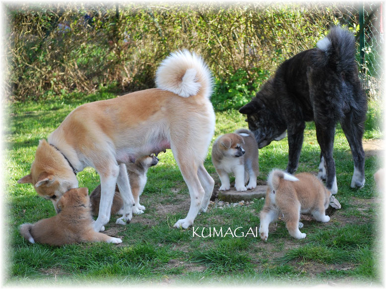 """""""Tonton"""" Toshi avec Daiyoko et ses chiots Akita Inu (portée 2011)"""