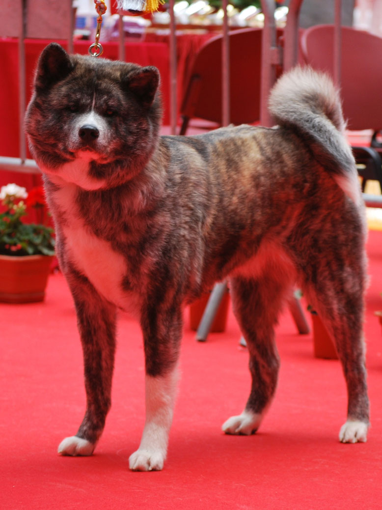 Femelle bringée Torahana, CACIB Elvas, BOB, Champion International