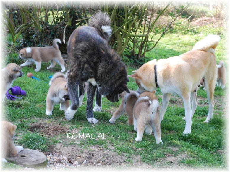 Rüde Toshi unterstützt seine Halbschwester Yoko bei der Betreuung der Welpen