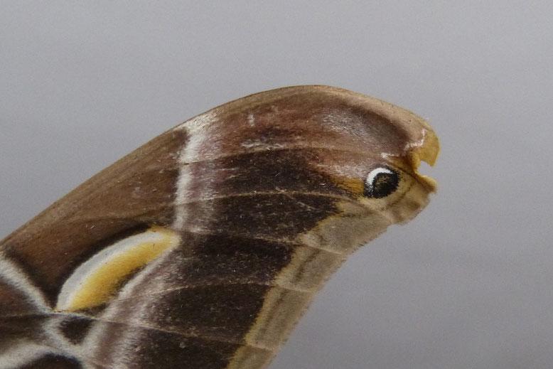 Ansatzweise Schlangenkopfzeichnung
