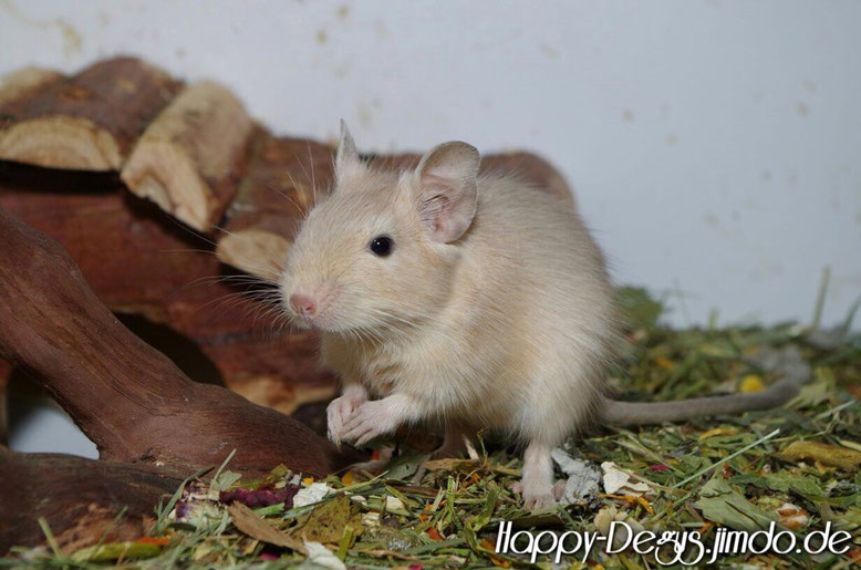 Cream | Foto: Deguzucht Happy-Degus