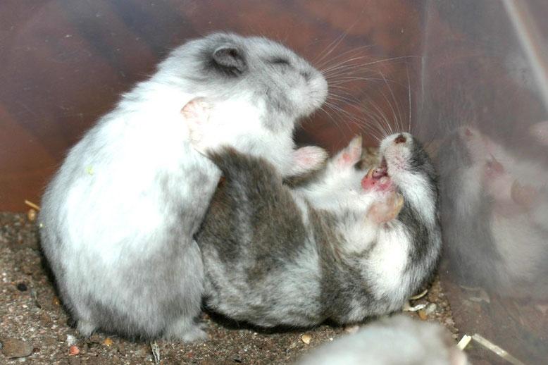 catfight hamster