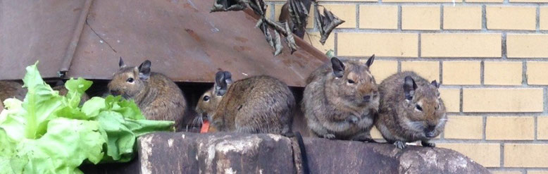 Degus in Wildfarbe / Agouti