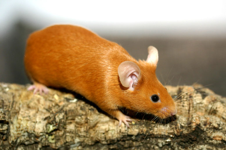 Recessive Red Farbmaus