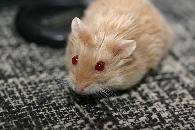 Ein Tier mit vielen rezessiven Genen (A/a b/b C/C D/- p/p sa/sa)