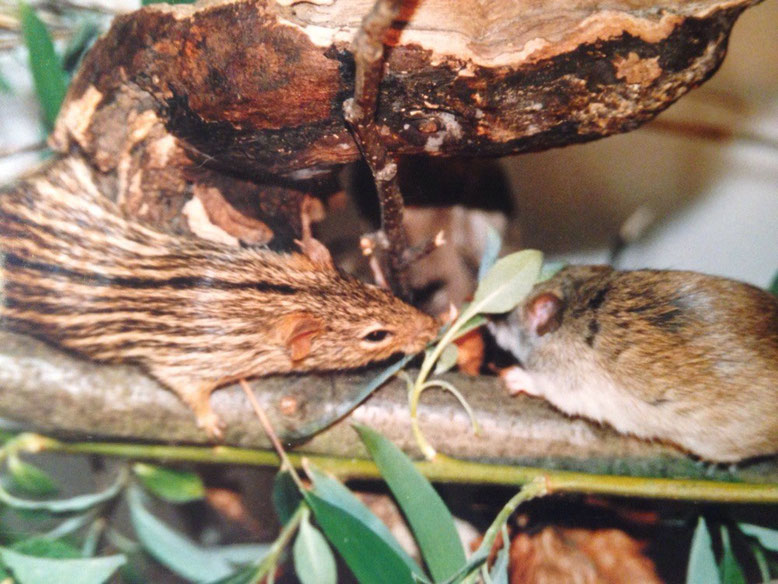 Streifengrasmäuse trifft Akazienratte
