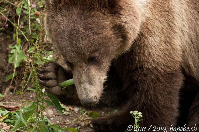 Das echte Wappentier Berns. Ihm zu Ehren gibt es den Bärenpark.