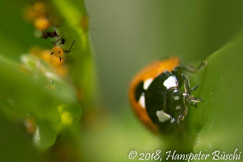 Himmugüegeli u Blattlüs - Marienkäfer und Blattläuse