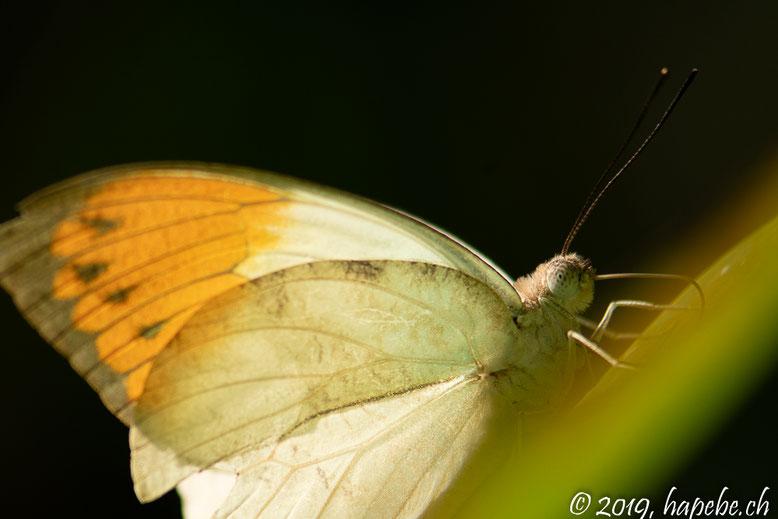 Schmetterlinge im Papiliorama Kerzers