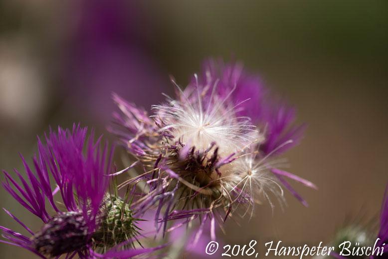 Haarigi Blueme - Haarige Blume