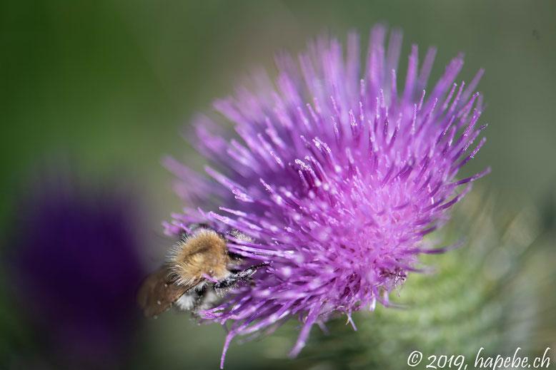 Bergdistel mit Wildbiene
