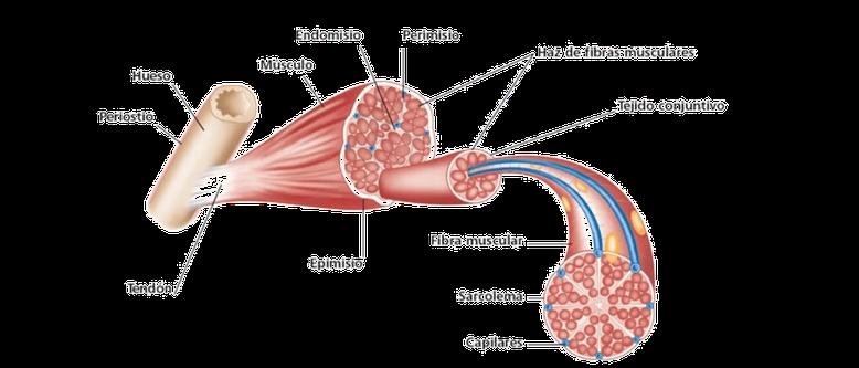Rotura fibras