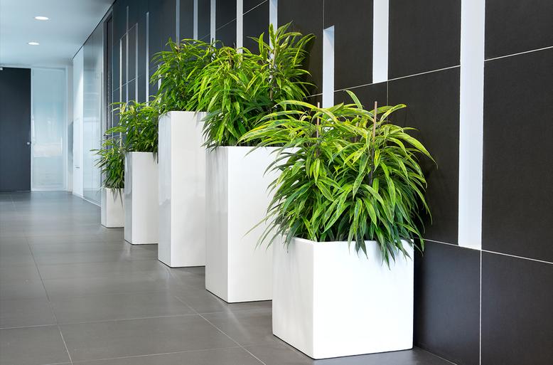 Maceteros decorativos cuadrados de varias alturas en blanco alto brillo con ficus alii jaspeados a lo largo de un pasillo