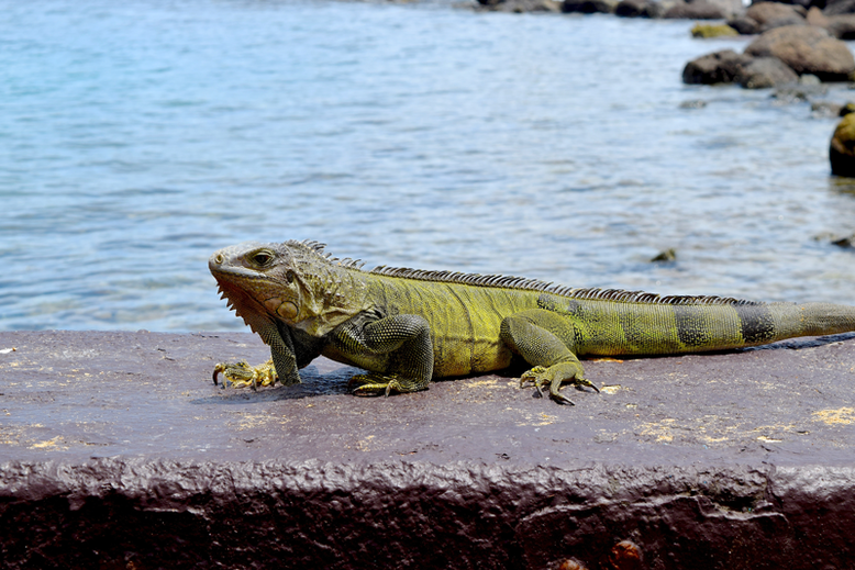 Is it Worth to Go to Puerto Rico - Iguanas