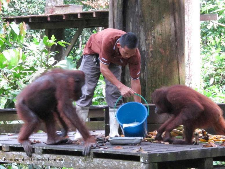 Sandakan. Orangutan fanno colazione