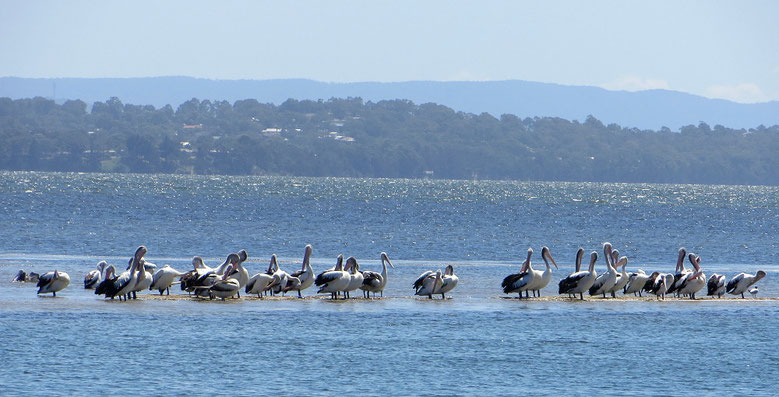 Pelikane treffen wir fast an jedem Gewässer an. Die grossen Vögel sind gewandte Flieger.